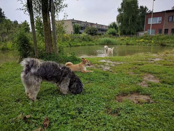Honden spelen in een hondenweide met vijver