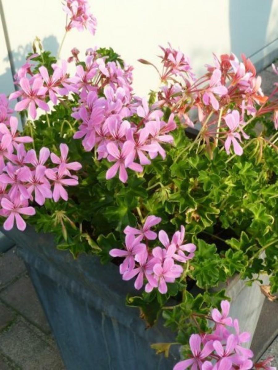 Hanggeranium in bloembak