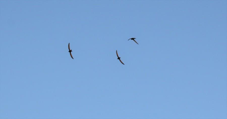 Drie gierzwaluwen vliegen met open gespreide vleugels tegen een blauwe lucht.