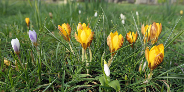 Krokussen in bloei op het oude kerkhof.