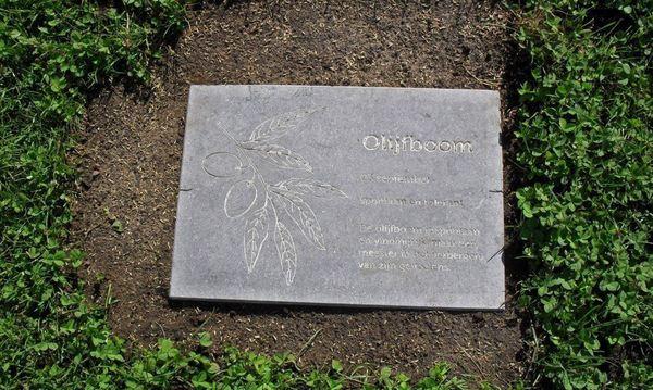 Eigenschappen Olijfboom volgens Keltische boomhoroscoop