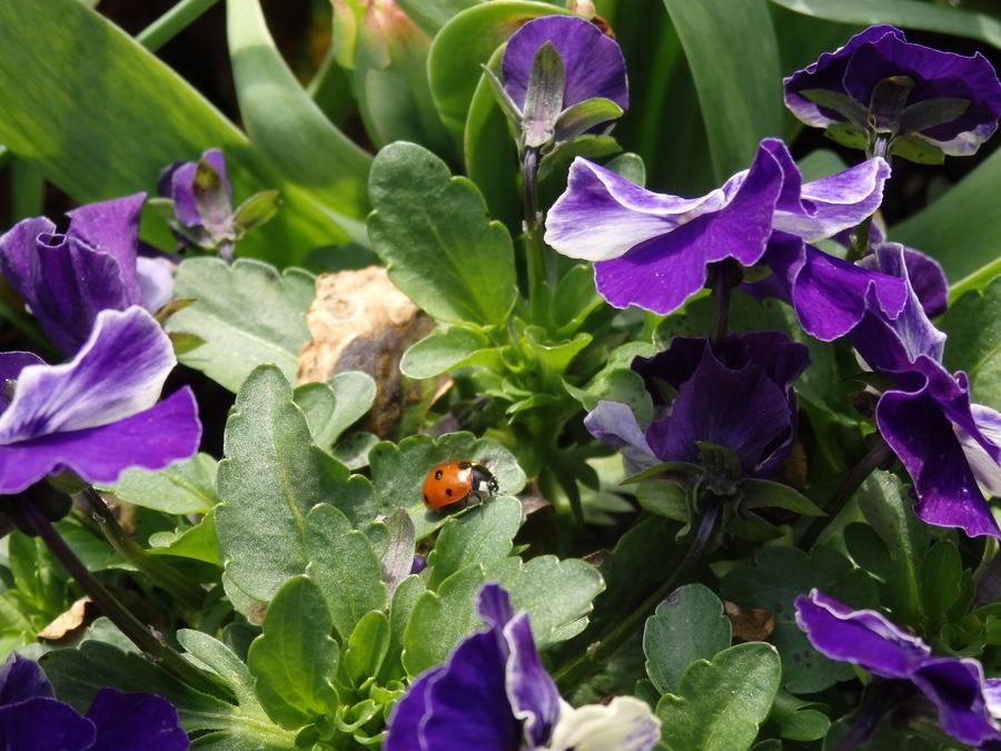 Lieveheersbeestje op paarse viooltjes