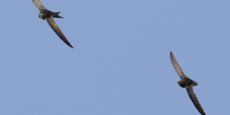 Gierzwaluwen in de vlucht