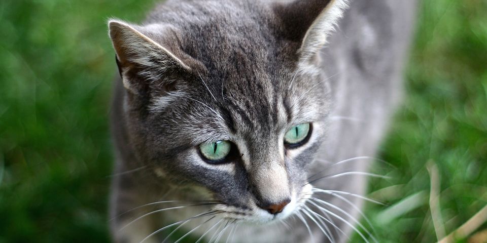 Laat uw huiskat in juni chippen