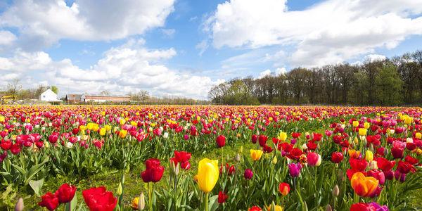 Tulpenweide