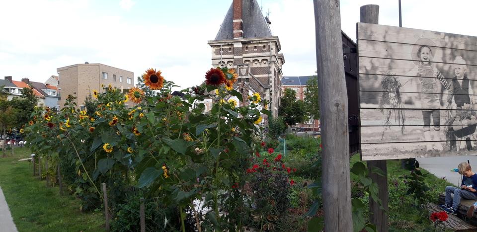 Zonnebloemen in tuin in het Groen Kwartier