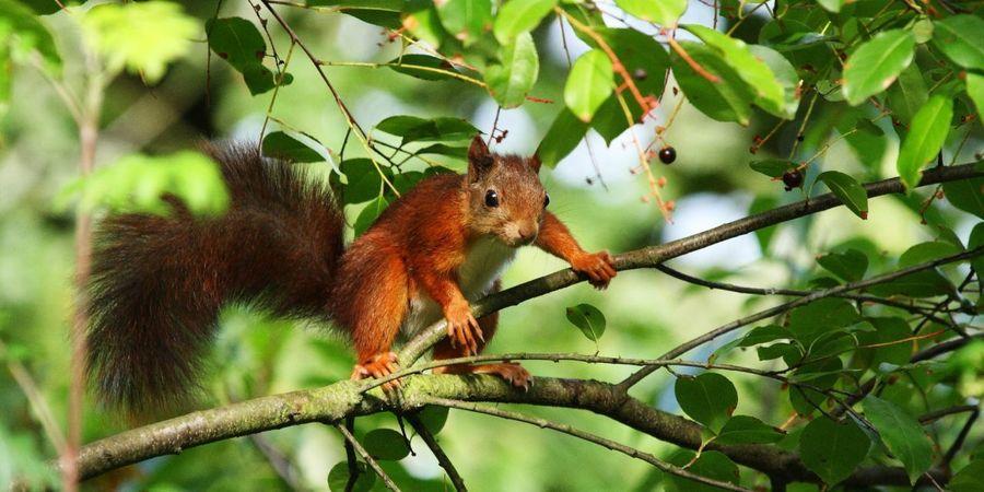 Een eekhoorn zit in een boom.