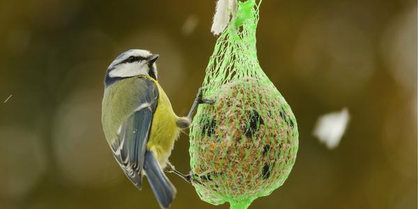 Vogel eet van een voederbol.