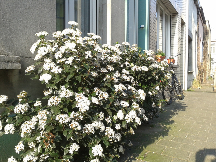 Een bloeiende viburnumstruik met witte bloemen langs een gevel.