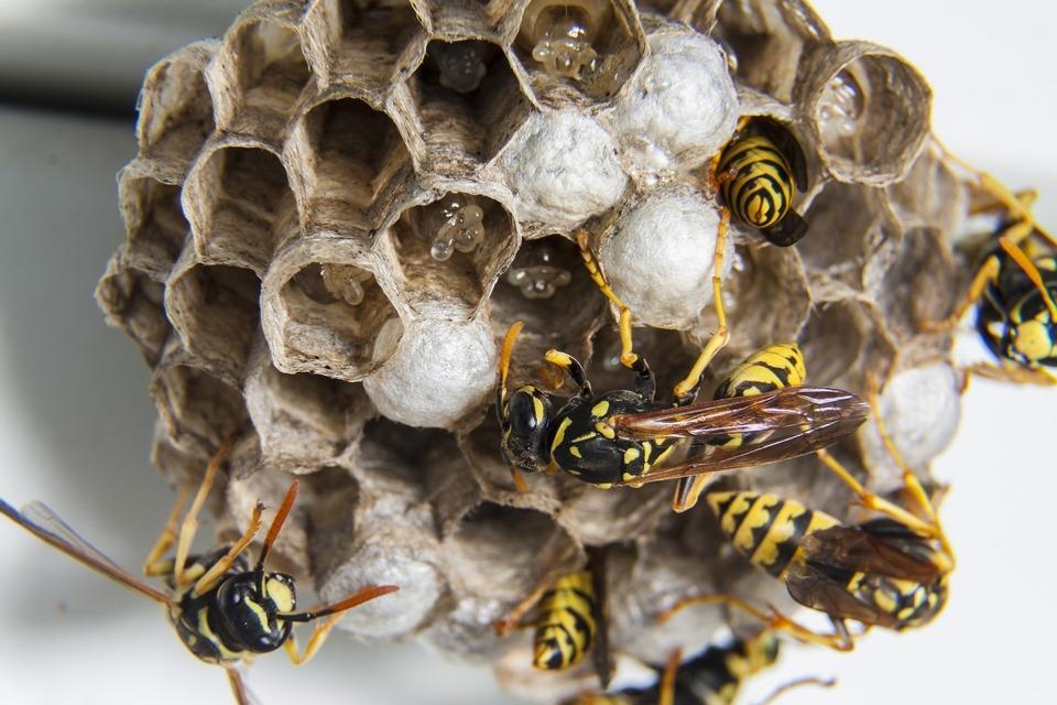 wespen wespennest wespenverdelging
