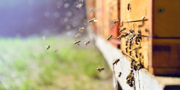 Een bijenkolonie.