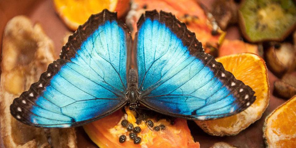 Blauw-bruine vlinder