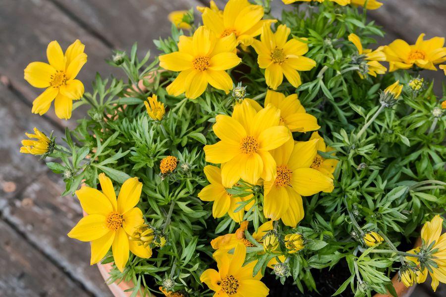 Gele bloemen in pot