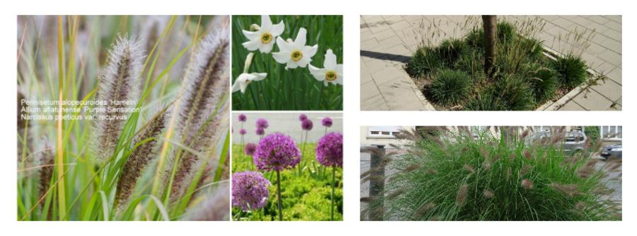 """Hier krijgt het lampenpoetsergras (Pennisetum alopecuroides 'Little Bunny') in de lente """"versterking"""" door narcissen en sieruien."""