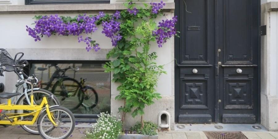 Deze klimplant werd horizontaal geleid onder het raam