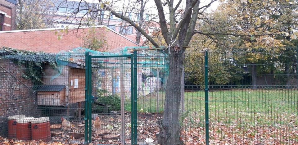 kippen tuin boom klimop