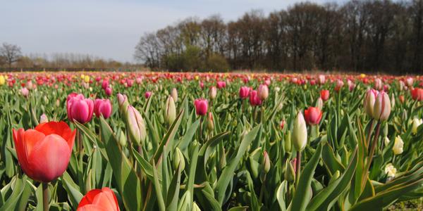 Tulpenweide Berendrecht