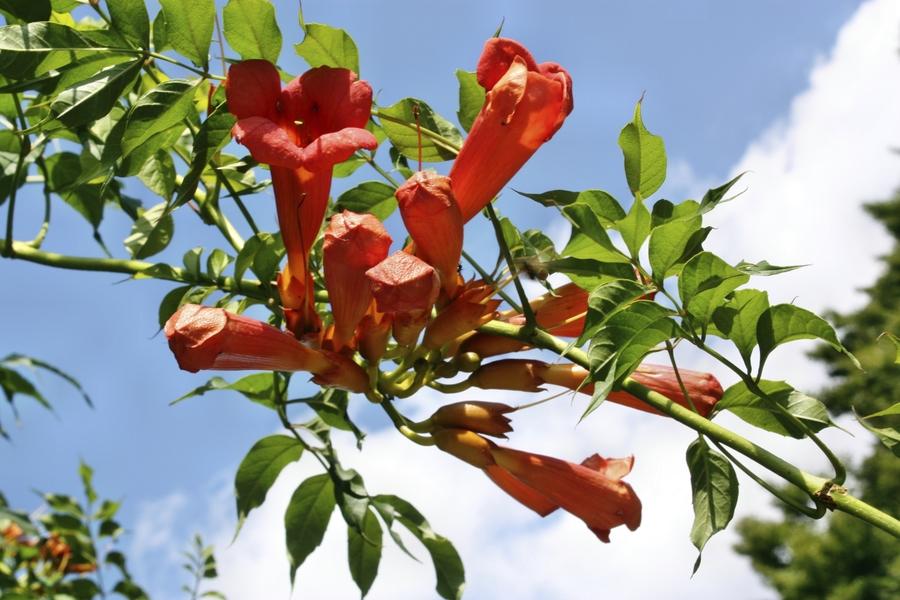Oranje bloemen van de trompetbloem
