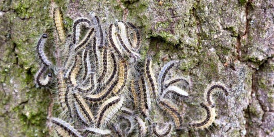 Veel eikenprocessierupsen op een eikenboom