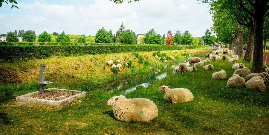 Tientallen schapen liggen langs een gracht op begraafplaats Schoobnselhof.