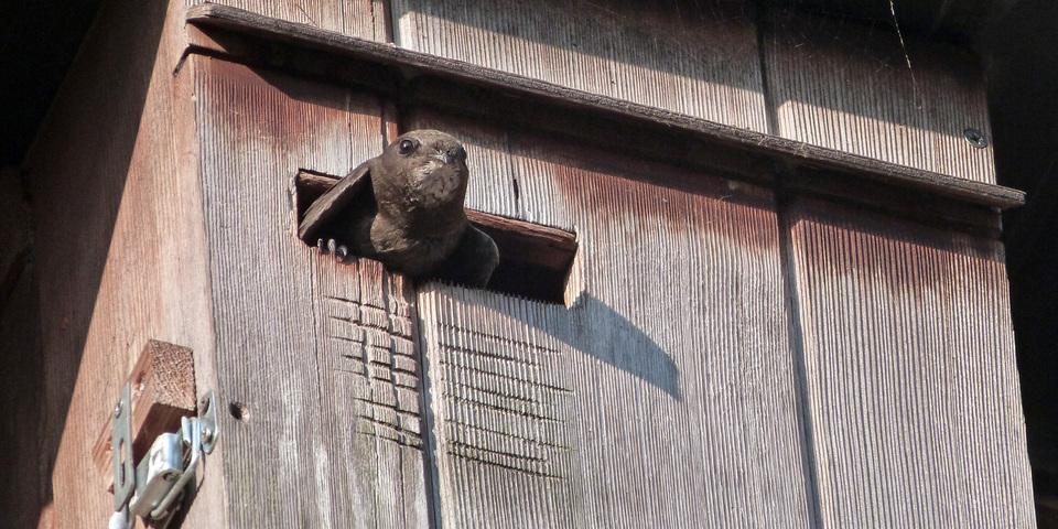 Tijdens de gierzwaluwwandeling in Antwerpen ontdekt u waar de gierzwaluw broedt.