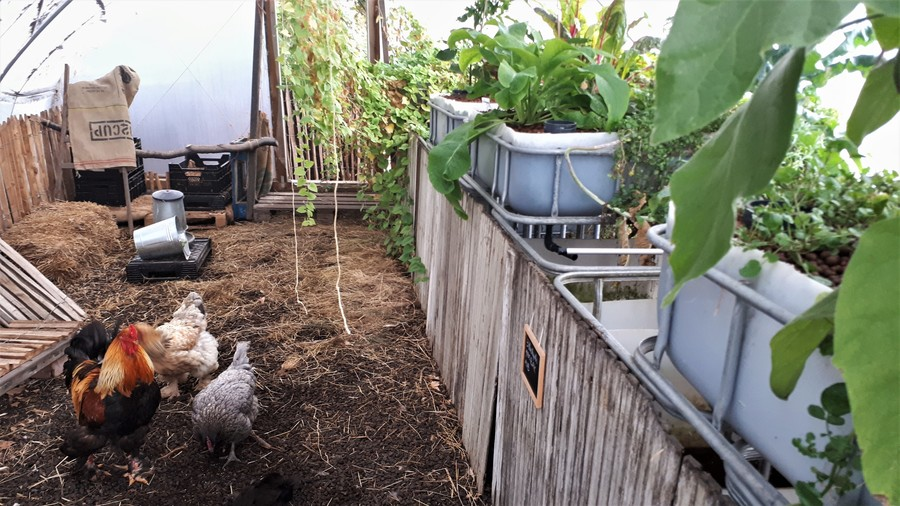 Kippen scharrelen vrolijk rond op 't dak van 't PAKT