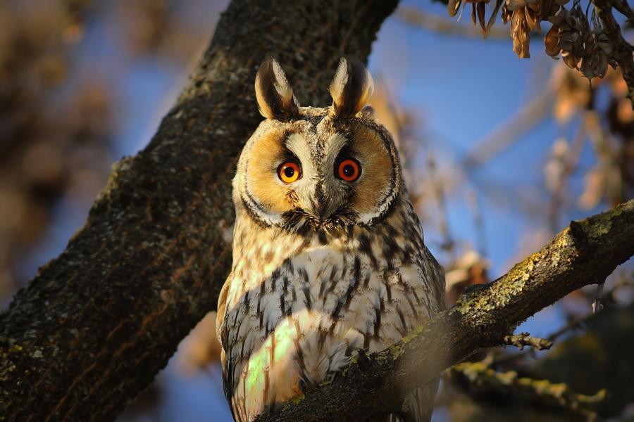 Een ransuil zit in een boom en kijkt recht in de lens.