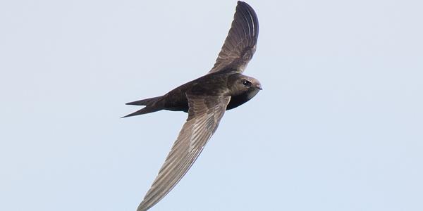 Een gierzwaluw scheert met open gespreide vleugels door de lucht