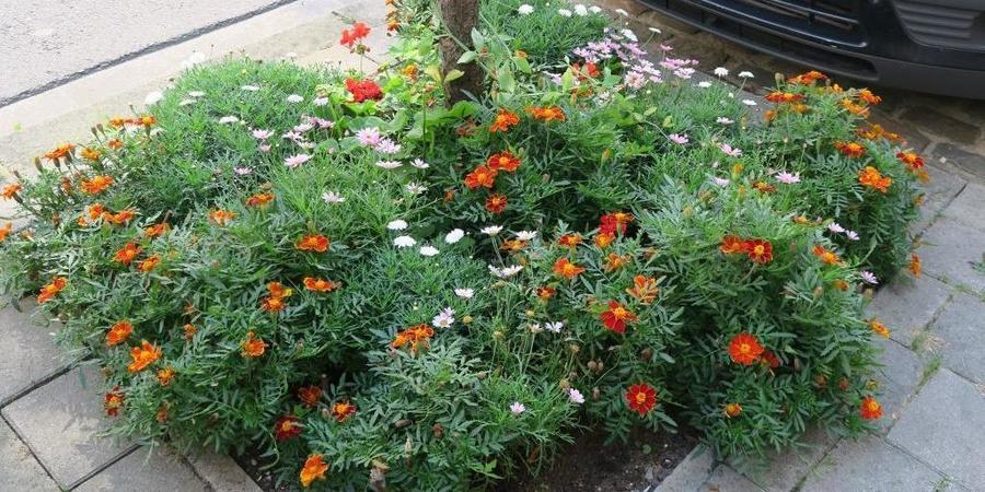 Boomspiegel in volle bloei, beplant met éénjarige bloemen