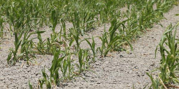 Maïsplanten die leden onder de voorjaarsdroogte van 2017