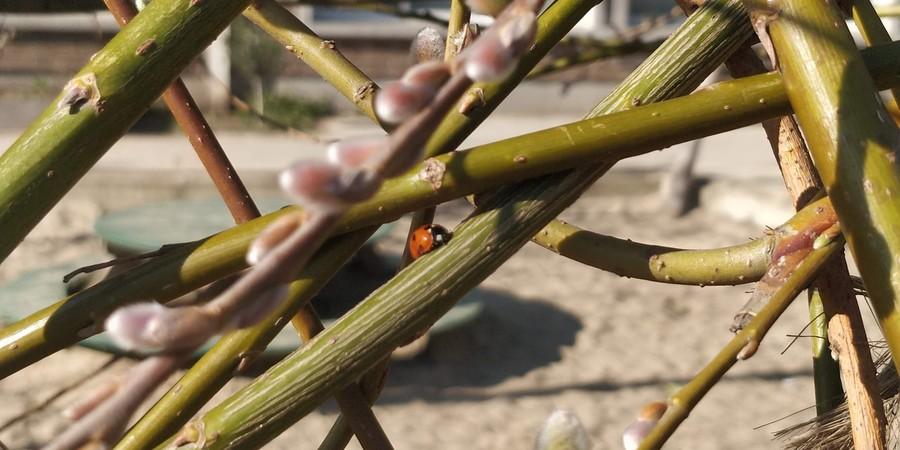 Lieveheersbeestje op wilgentunnel