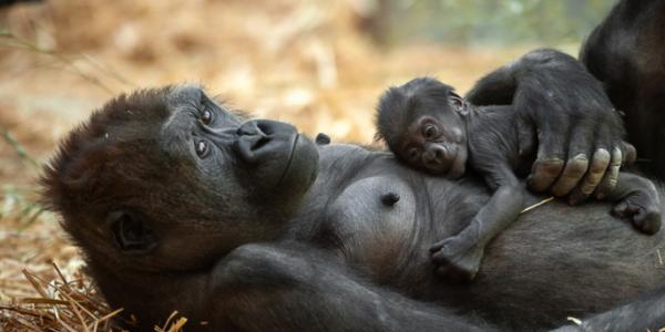 Mama en babygorilla in de ZOO