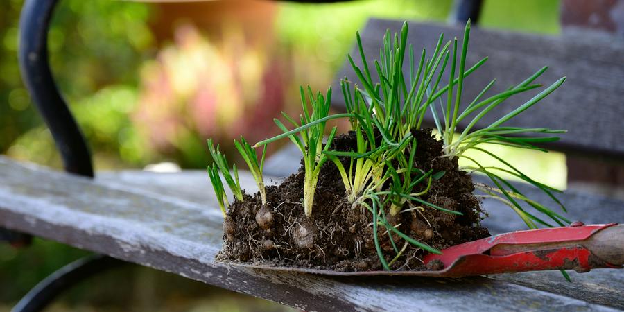 bloembollen klaar om te planten