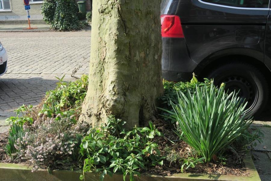 Verschillende bodembedekkers rond een boom, onder andere de groenblijvende Pachysandra terminalis (schaduwkruid).