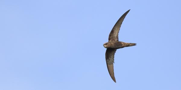 Gierzwaluw in de lucht